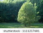 summer sunny tree growing in... | Shutterstock . vector #1111217681