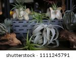 air plants planted in animal... | Shutterstock . vector #1111245791