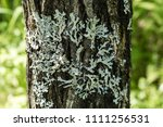 Lichen On The Bark Of A Tree....