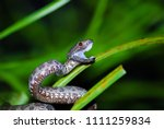 Purple Spotted Pit Viper Ready...