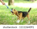beagle dog playing with toy in... | Shutterstock . vector #1111264091