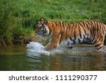 a siberian tiger  panthera... | Shutterstock . vector #1111290377