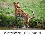 a siberian tiger  panthera... | Shutterstock . vector #1111290401