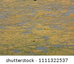 algal bloom on freshwater lake | Shutterstock . vector #1111322537