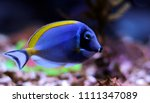 Small photo of Powder Blue Tang - Acanthurus leucosternon