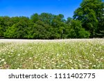 field of flowering daisies and... | Shutterstock . vector #1111402775