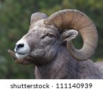 Rocky Mountain Bighorn Sheep ...
