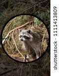 Small photo of small predator racoon (Procyon lotor) in the crosshair of the optical sight of the hunter