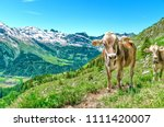 Alpine Cows Ringing With Bells...
