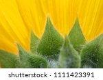 back of sunflower up close  ... | Shutterstock . vector #1111423391