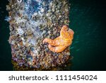 Orange Starfish On A Barnacle...