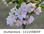 chinese flowering crab apple in ... | Shutterstock . vector #1111458059
