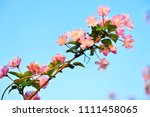 chinese flowering crab apple in ... | Shutterstock . vector #1111458065