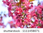 chinese flowering crab apple in ... | Shutterstock . vector #1111458071