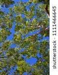 Small photo of Tree canopy against blue sky