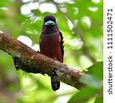 beautiful bird  banded...   Shutterstock . vector #1111502471