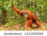 male sumatran orangutan  pongo... | Shutterstock . vector #1111535204