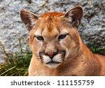 Mountain Lion Closeup Head ...