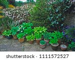 Collection Of Hostas In...