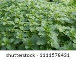Stinging Nettle Weed Growing I...