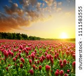 field of flowering crimson... | Shutterstock . vector #1111583555
