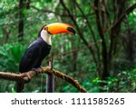 toucan tropical bird sitting on ... | Shutterstock . vector #1111585265