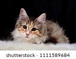 Stock photo sweet little norwegian forest cat kitten on a sheep skin 1111589684