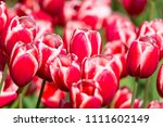 blooming colorful tulips... | Shutterstock . vector #1111602149