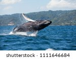 The humpback whale photographed ...