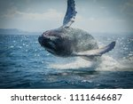 the humpback whale photographed ... | Shutterstock . vector #1111646687