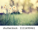 narcissus  flowers and green... | Shutterstock . vector #1111650461