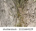 the bark of a large tree. the... | Shutterstock . vector #1111664129