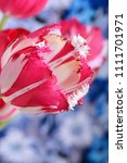 close up of red tulips blooming ... | Shutterstock . vector #1111701971