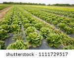 rows of lettuce growing on... | Shutterstock . vector #1111729517