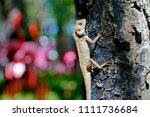 oriental garden lizard is... | Shutterstock . vector #1111736684