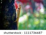 oriental garden lizard is... | Shutterstock . vector #1111736687