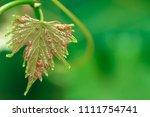 green wine grape leaf entwine... | Shutterstock . vector #1111754741