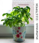 Basil Plant In A Colorful Pot...