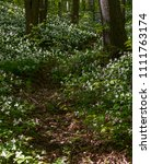 forest trail and trillium... | Shutterstock . vector #1111763174