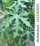 serration leaf of chaya plant... | Shutterstock . vector #1111763327