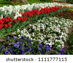 great flowerbed with red tulips ... | Shutterstock . vector #1111777115