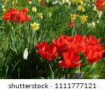 great flowerbed with red tulips ... | Shutterstock . vector #1111777121