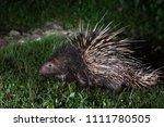malayan porcupine or himalayan... | Shutterstock . vector #1111780505