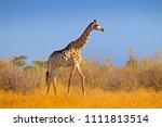 giraffe in bush forest  evening ... | Shutterstock . vector #1111813514