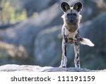 An African Wild Dog Standing O...