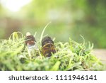 cannabis oil  cbd oil cannabis... | Shutterstock . vector #1111946141