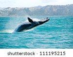 Massive Humpback Whale Playing...