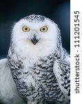 A Portrait Of A Snowy Owl