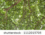 under shade of giant tree from... | Shutterstock . vector #1112015705