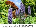 tall blue compound flower... | Shutterstock . vector #1112056571